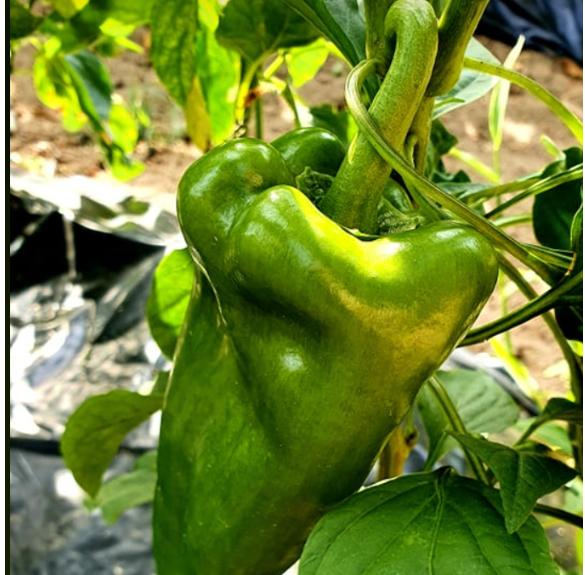 Paprika - zöld kápia, vegyszermentes